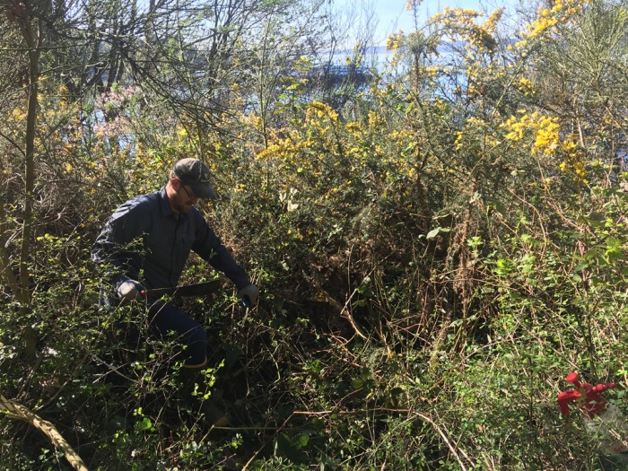 King County noxious weed specialist Eric Walker hacks his way toward a large gorse plant on the hillside of Lincoln Park. Photo by Matt Below.