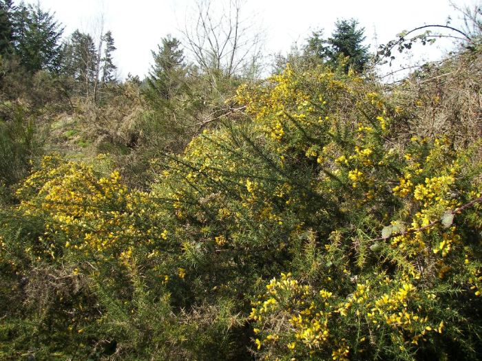 Gorse resembles Scotch broom but is covered with dense spines and starts flowering much earlier.