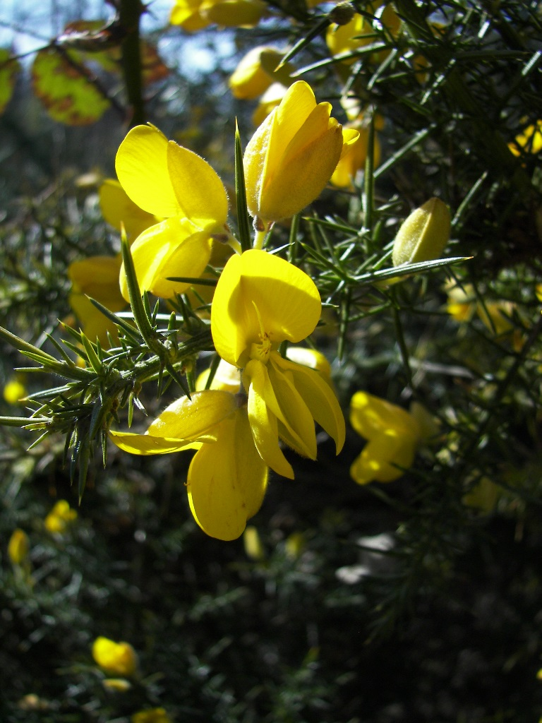 Gorse March 2017 Weed Of The Month Noxious Weeds Blog