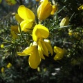 Gorse has fragrant, yellow flowers in the characteristic shape of plants in the pea family.