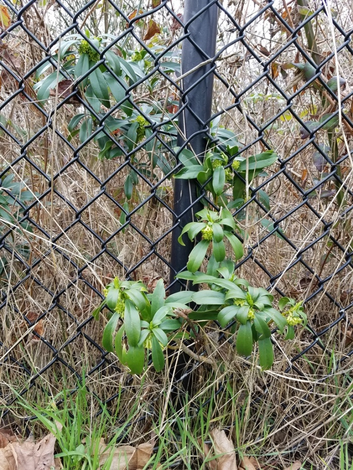 Spurge laurel growing through a chain link fence in Seattle in early March.