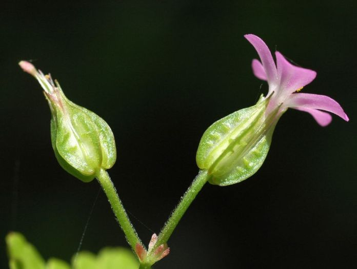 "Flowers are tiny, pink, 5 petals and grow in pairs on delicate stems. Distinctive ""keels"" around the base of the flower (the sepals). Usually blooms April to July, sometimes as early as March. Photo by Ben Legler."