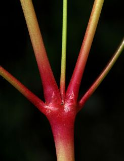 Stems are usually red or pinkish and not noticeably hairy. Photo by Ben Legler.