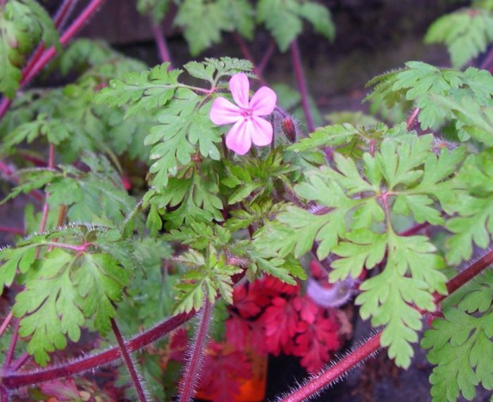 Herb-Robert has hairy stems, finely dissected leaves and has a strong odor when crushed. Photo by Sasha Shaw.