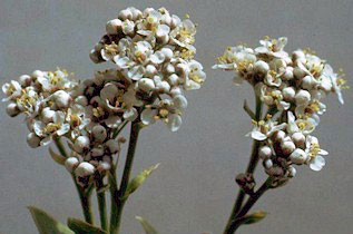 Perennial pepperweed flowers.