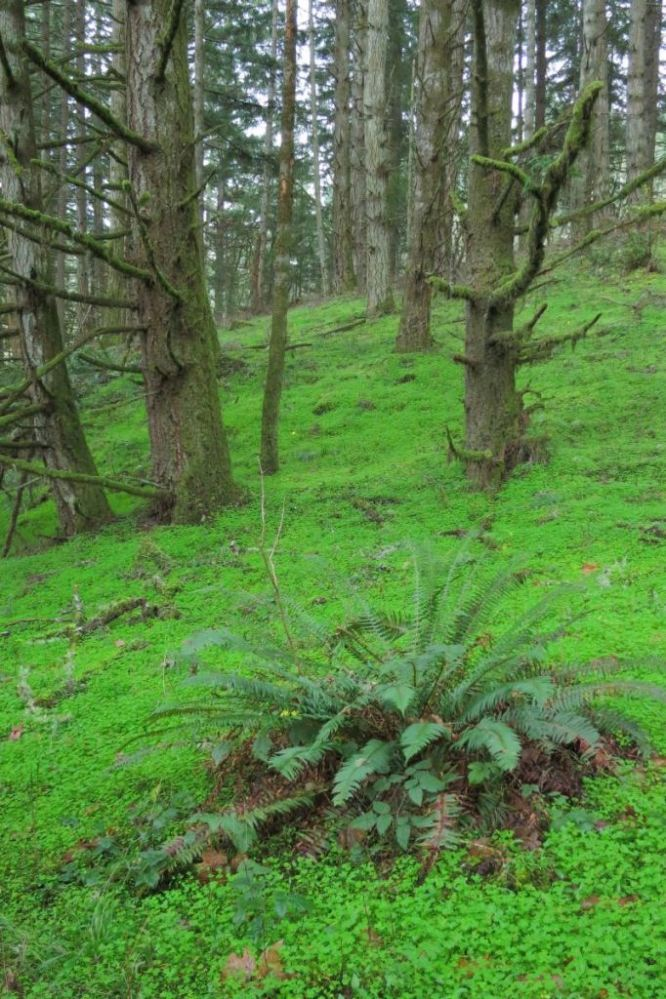 In Oregon, there are areas where shiny geranium dominates the understory of woodlands, such as in this photo by Ed Alverson of a site on Mt. Pisgah in Lane County, OR.