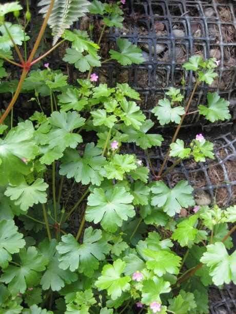 """Shiny geranium appears to have been brought in with either gravel or plants that were used on a """"living wall"""" on the sides of the daylighted creek. Photo by Sasha Shaw."""