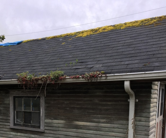 This year there were only a few plants coming up in the gutters. Photo by Karen Peterson.