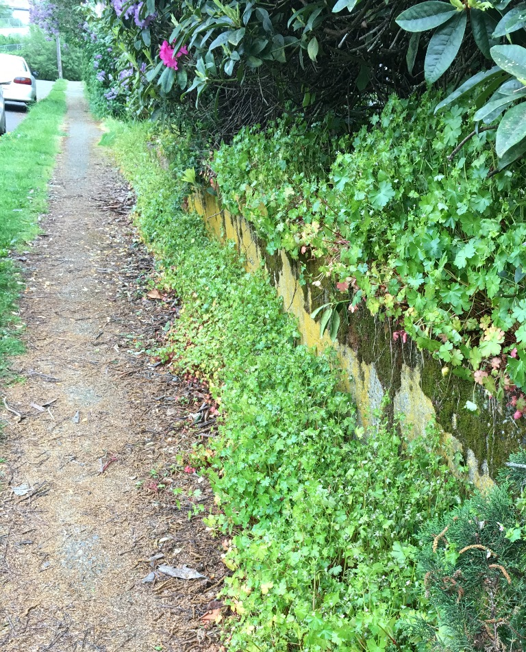 Shiny geranium lining a sidewalk in Seattle. Photo by Karen Peterson.