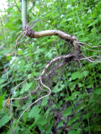 "Garlic mustard's ""s""-shaped root."