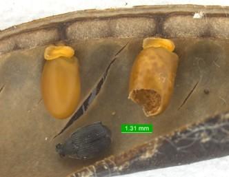 Bruchidius villosus. Foto cortesía de Jennifer Andreas, Washington State University Extension.
