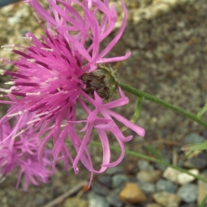 Spotted knapweed flower with black spots on bracts.