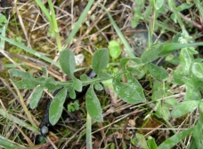 Spotted knapweed leaves are silver-gray and lobed.