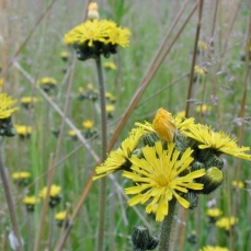 Weeds to watch out for june 2017 noxious weeds blog blooming yellow hawkweed mightylinksfo