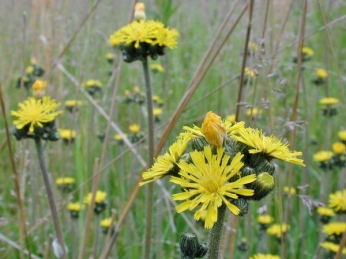 Blooming yellow hawkweed.