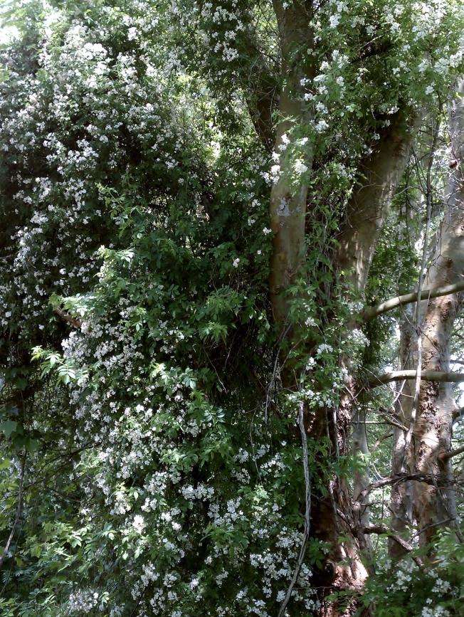 multiflora-rose_climbing.jpg