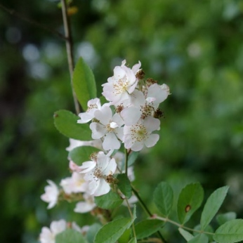 Multiflora rose's flowers with notched petals. Photo's courtesy of Chris Evans, River to River CWMA, Bugwood.org.