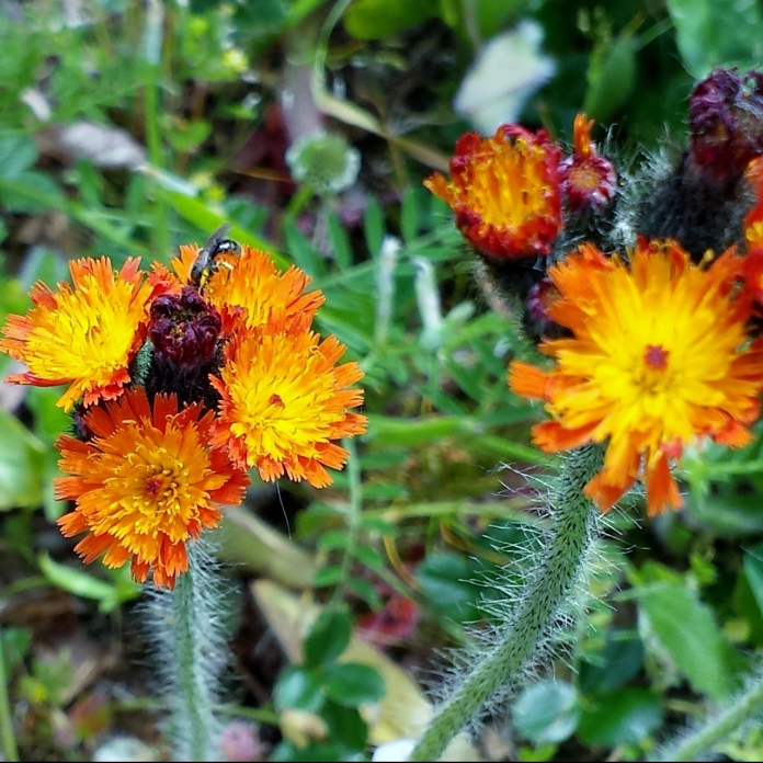 Orange hawkweed blooming near Petrovitsky Park in Renton.