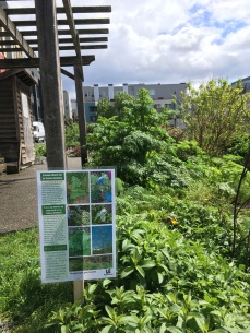 Posters alerting people to poison-hemlock can be posted at community gardens or other public places.