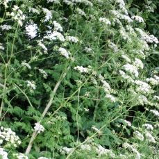Weeds to watch out for june 2017 noxious weeds blog poison hemlocks numerous umbrella shaped clusters of small white flowers mightylinksfo Choice Image