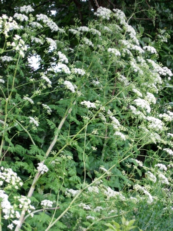 Poison-hemlock's numerous umbrella-shaped clusters of small white flowers.