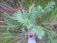 Common tansy leaves look fern-like, in contrast to the deeply-lobed shaped of tansy ragwort's leaves.