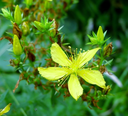Common St. Johnswort's yellow flowers have 5 petals. Photo courtesy of gailhampshire / CC BY 2.0.