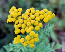 Common tansy flower heads lack ray flowers.