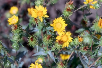 "Puget Sound gumweed has yellow composite flowers with bracts covered in a white, sticky ""gum""—very different from perennial pepperweed's flowers. Photo courtesy of Bureau of Land Management Oregon and Washington / CC BY 2.0."
