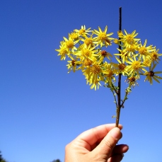 Tansy ragwort produces clusters of bright yellow daisy-like flowers—usually with 13 petals—at the ends of its stems.