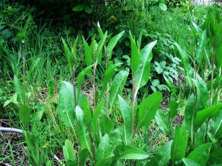 Perennial pepperweed has waxy, serrated or entire leaves that appear alternate on stems.