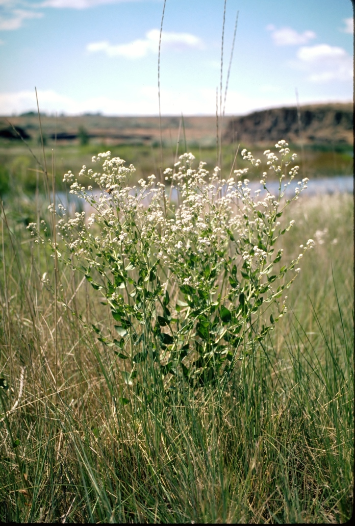 Perennial pepperweed blooms June-September, when dense rounded clusters of small white flowers appear near branch ends.