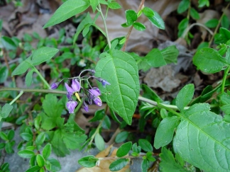 Unlike perennial pepperweed and Puget Sound gumweed, bittersweet nightshade's leaves often have lobes at their bases. Flowers are star-shaped and purple with yellow cones.