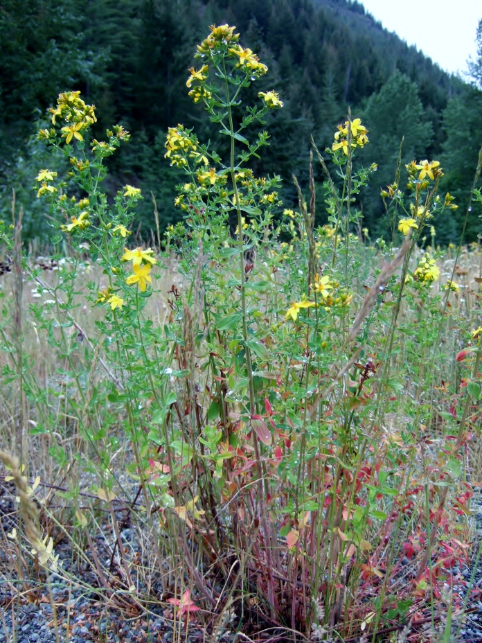 From a distance, Common St. Johnswort looks similar to tansy ragwort, though it usually reaches only 3 feet tall.
