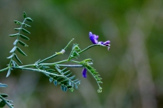 Tufted vetch (Vicia cracca). Note the tendrils at leaf ends. Photo courtesy of Patrice Wuine / CC BY 2.0.