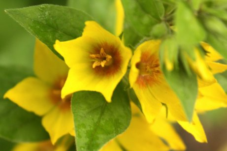Yellow loosestrife's flowers are more pointed than those of garden loosestrife.