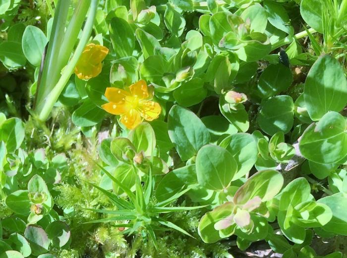 bog st. john's-wort (Hypericum anagalloides)_7.12.17.JPG
