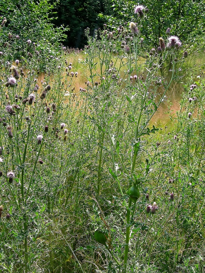 canada thistle patch.jpg