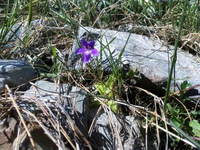 common butterwort (Pinguicula vulgaris)_7.24.17_2.JPG