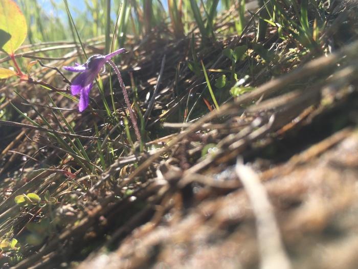 common butterwort (Pinguicula vulgaris)_7.24.17_4