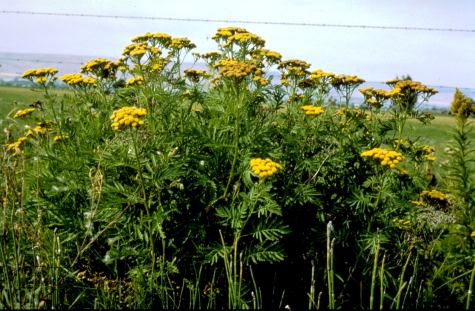 common tansy plants