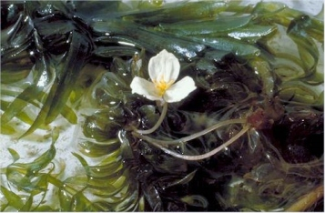 Brazilian elodea's showy white flowers with 3 petals and yellow centers, fragrant, floating on water surface