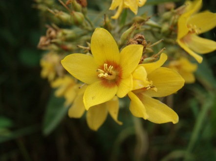 Garden loosestrife's 5-petaled, yellow, primrose-like flowers appear in clusters at stem ends between July and September.
