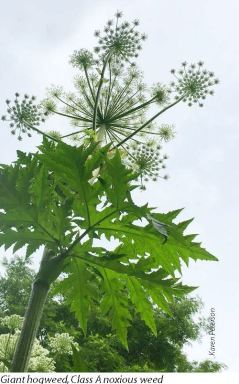 Giant hogweed is one of the most dangerous noxious weeds found in King County.