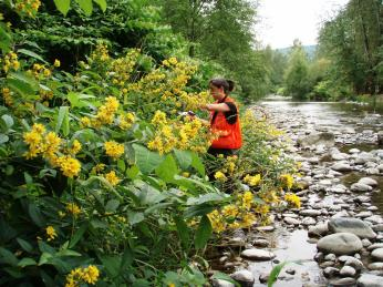 Education Specialist Sasha Shaw controls garden loosestrife on the Raging River. Garden loosestrife usually grows 3-6 ft., sometimes reaching 10 ft., and has round stems covered in soft hairs.