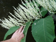 Knotweed's flower are small, creamy white to greenish white, appearing in showy, plume-like, branched clusters in leaf joints near stem ends in July and August.