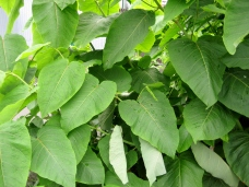 Knotweed's leaves are alternate, heart- to spade-shaped, bright green with smooth edges.