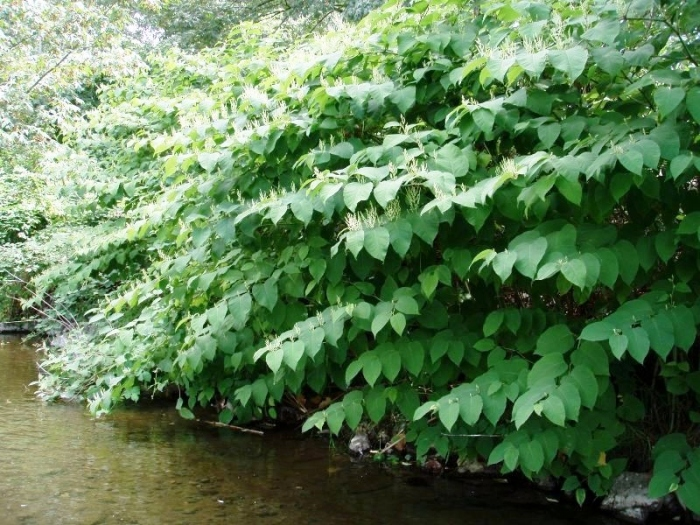 knotweed-river.JPG
