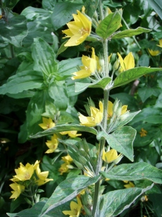Yellow loosestrife's flowers grow all along the stem.