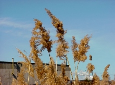Phragmites has purple-brown-silver seed head plumes at end of stalks, 6-20 inches long and up to 8 inches wide.